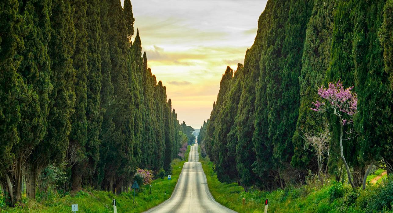 Bolgheri Cypresses