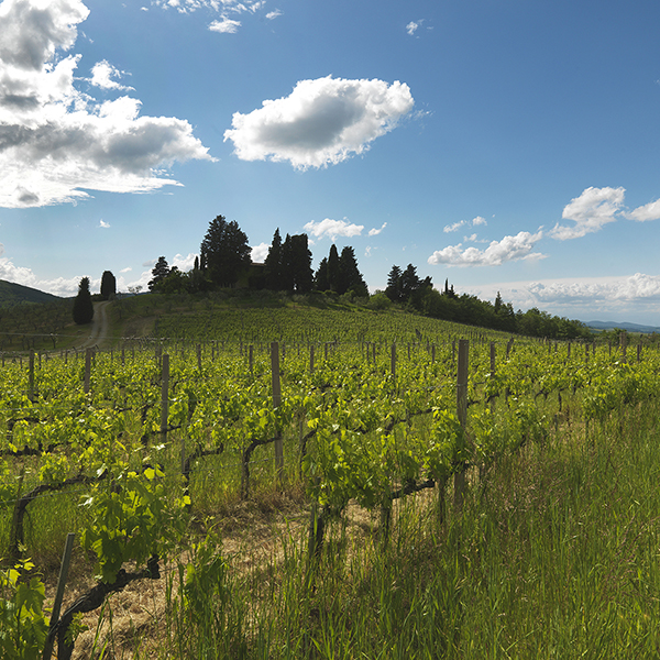 Querciabella Vineyard